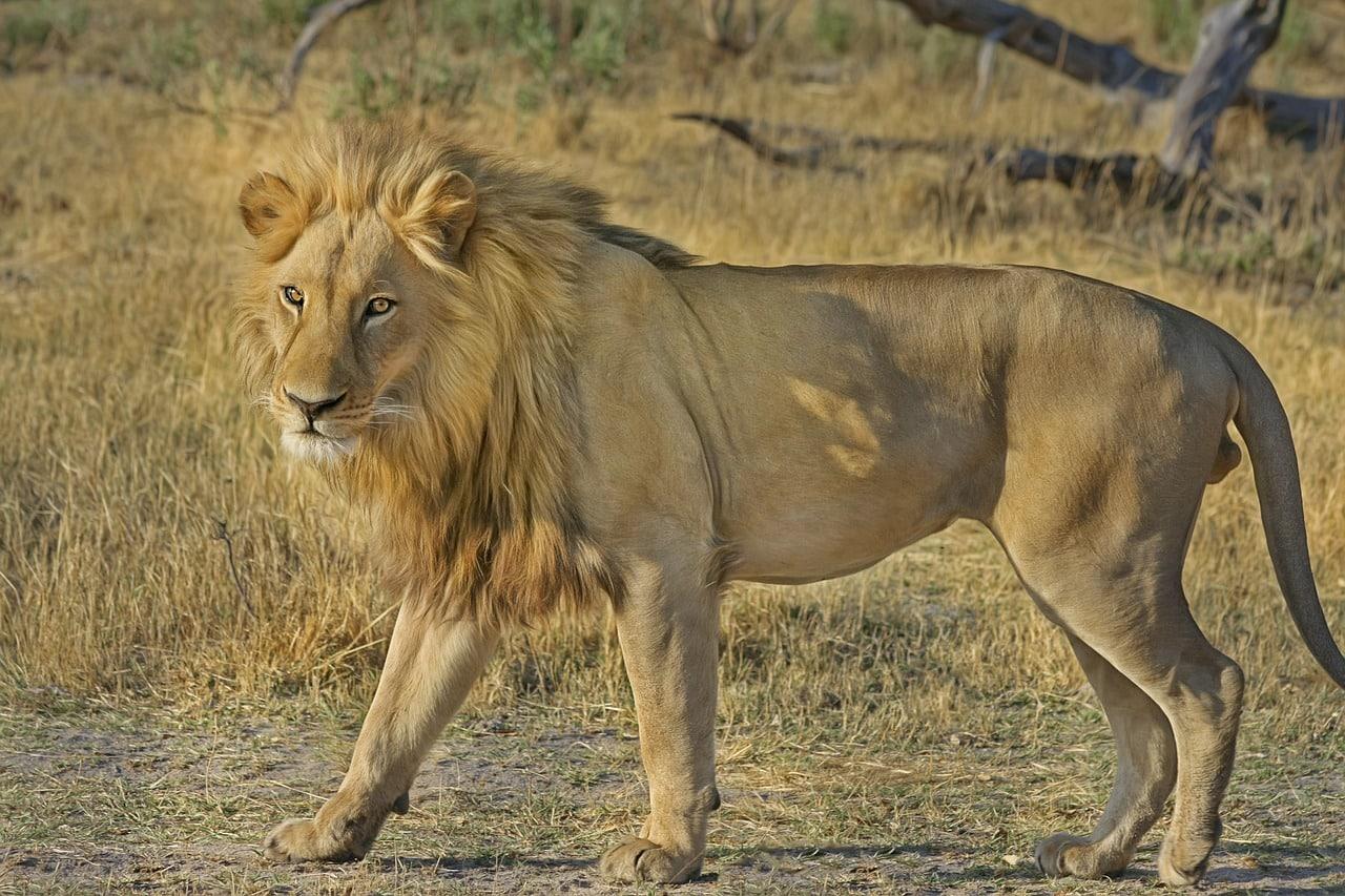 un lion lors d'un safari au kenya
