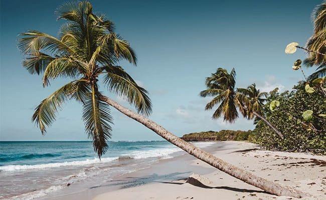 des palmiers en martinique